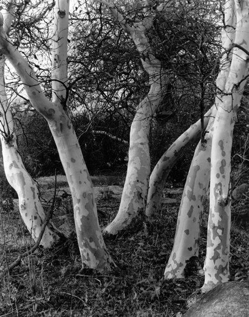 sycamore trees naturaleza arboles fotografa imogen cunningham