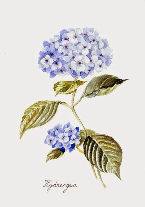 veronica algaba illustration hortensia acuarela