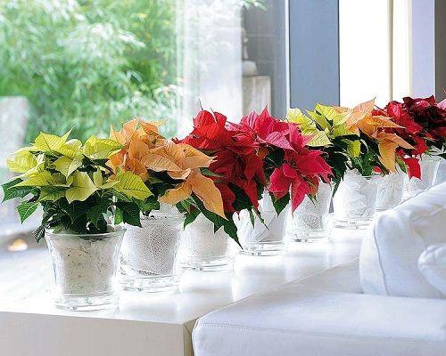 estilo decoracion de navidad flor de pascua (14)