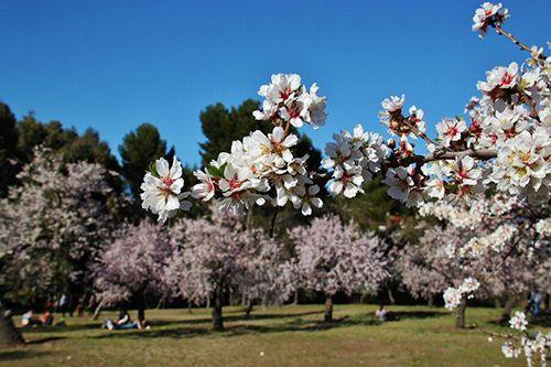 almendros en flor quinta de los molinos parque madrid