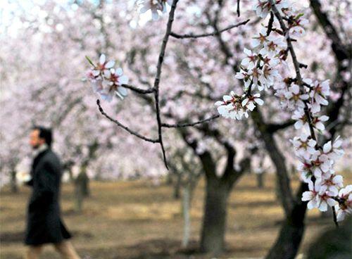 almendros flores parque quinta de los molinos madrid
