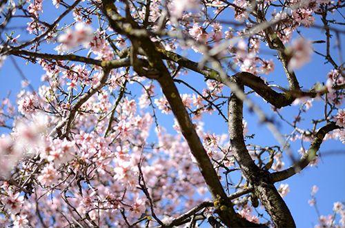 parque quinta de los molinos madrid almendros arboles flores primavera