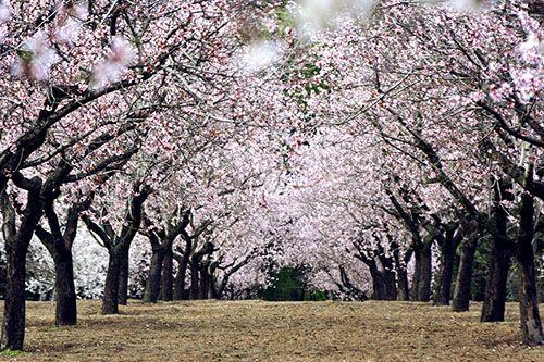quinta de los molinos madrid parque almendros en flor