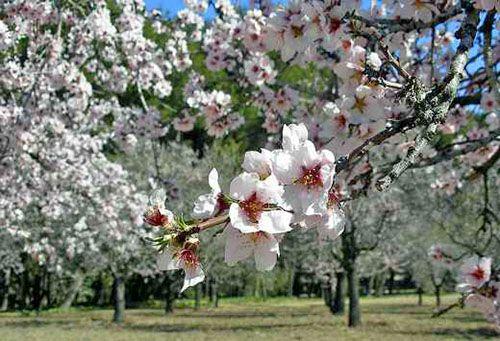 quinta de los molinos parque madrid arboles almendros primavera