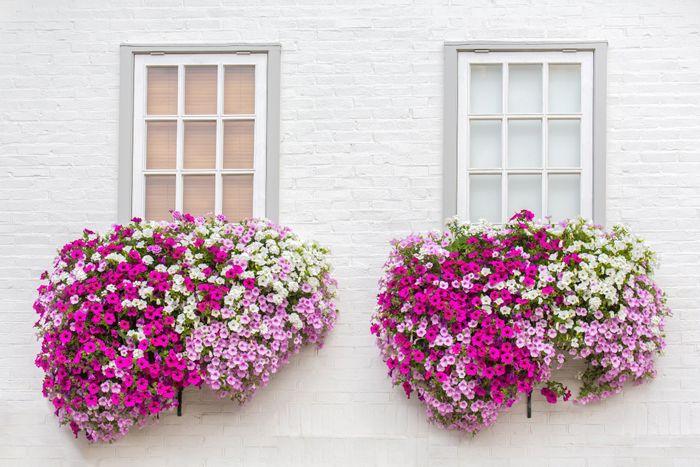 ventanas flor petunia verano
