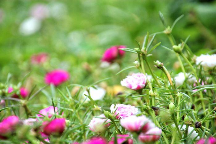 flores verano lila fuxia