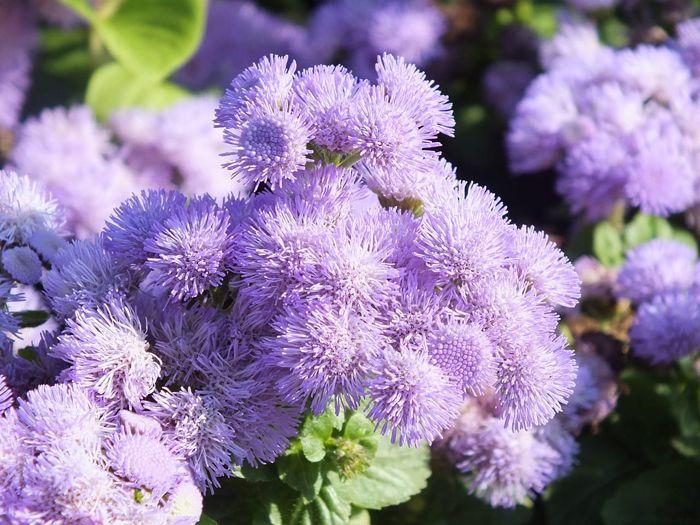 flores de verano moradas